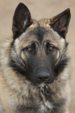 on looker: close-up of german shepherd with red-and-tan wool and orange eyes