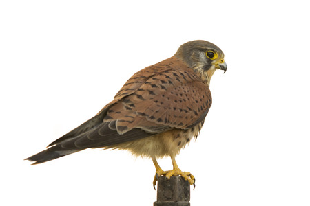 white perch: Kestrel isolated on white sits on a perch Stock Photo