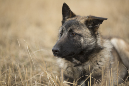 drooping: young german shepherd with drooping ear lies on the dry grass