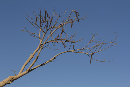carob: dried african carob tree on a blue sky background Stock Photo