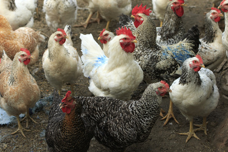 henhouse: a lot of hens and two roosters in the yard of poultry farm