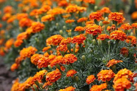 marigolds: a lot of marigolds summer background Stock Photo