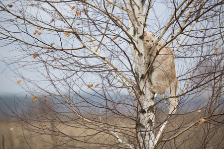 climbed: red cat climbed on a birch tree in autumn