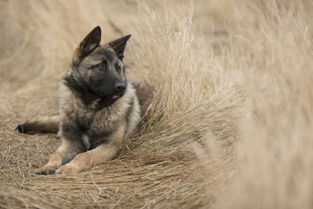 noble: noble german shepherd lies on the dry grass or dog in the manger
