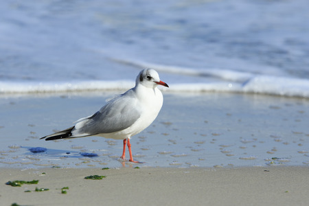 single seagull walks at the beach on a wet sand
