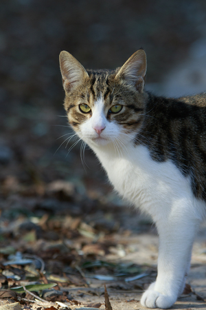 housecat: mixed white and cane color cat with green eyes stands gazing on the ground with dry fallen foliage Stock Photo