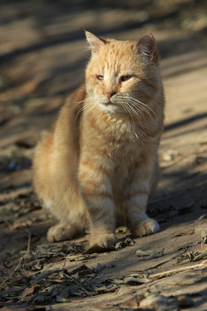 old ginger domestic cat sits on the ground and basks in the sun