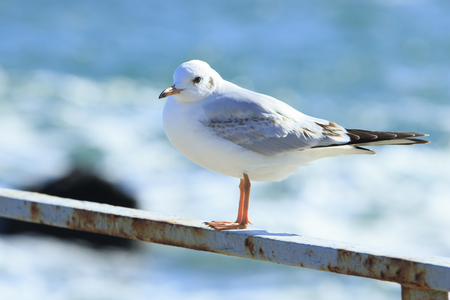 sea gull stay on the rusty railing of a pier at the sea Stock Photo