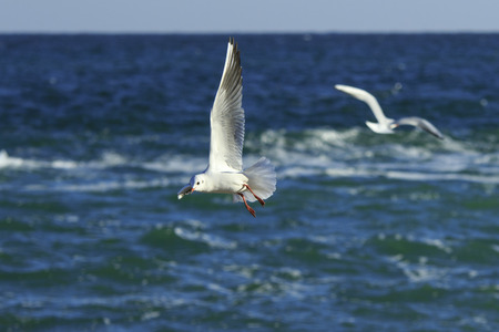seagull flies and makes some skids in the air above the sa Stock Photo