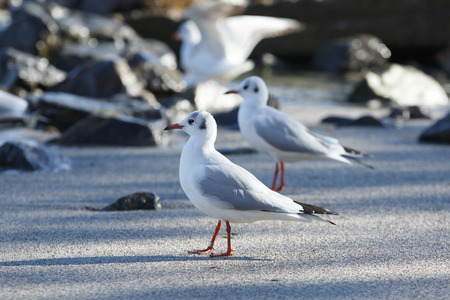 several seagulls stays on the beach Stock Photo