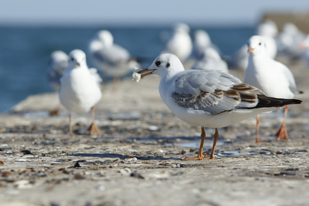 feed up: Slender-billed gull stands on a pier with a piece of bread in a beak with other gulls look