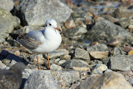 stays: seagull stays at stony shore of the sea