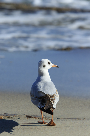 turn away: seagull proudly walks away at the sea shore and turns back