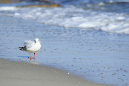 stays: young seagull chick with sticking feathers stays by the sea in windy weather