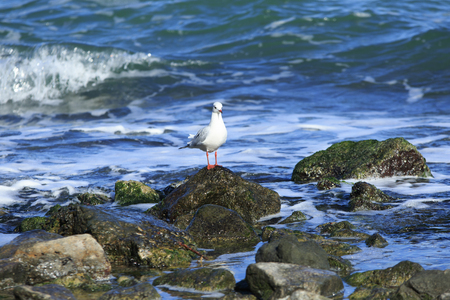 midst: seagull stays on the stone in the midst of the sea Stock Photo