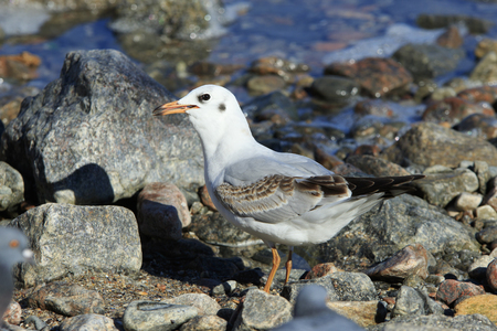 stays: seagull with angry facial expression stays among the rocky secoast