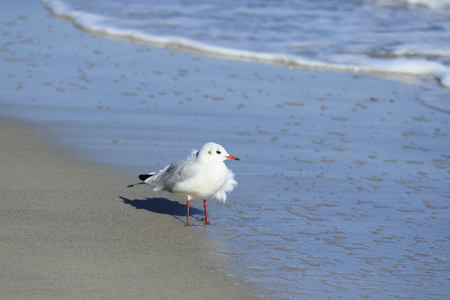 disheveled: young seagull with disheveled foliage stands on the wet sand by the sea
