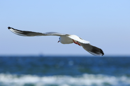 breadth: seagull flies with widely swinging wings above the blue sea