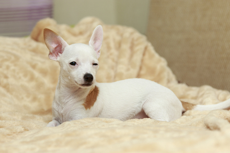 protruding eyes: White smooth coat Chihuahua winks lying on the bed Stock Photo