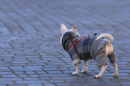 turn away: white Chihuahua dressed in plaid jacket and gray panties stand on the street tile turned away Stock Photo