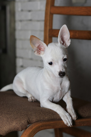 protruding eyes: sad little white Chihuahua lie on a wood chair with lowered eyes