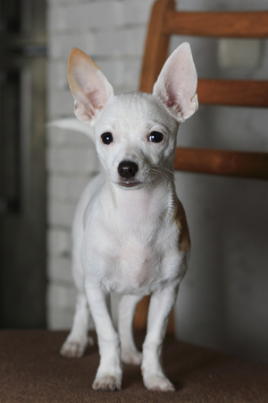 cutie little white Chihuahua posing standing on a chair
