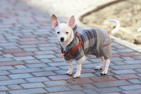 protruding eyes: three-month white smooth coat Chihuahua dressed in autumn suit stays on a tile at a backyard