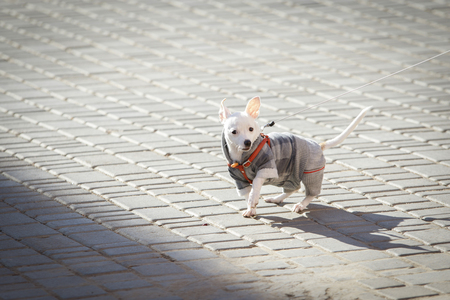 protruding eyes: funny little dog Chihuahua dressed in autumn suit walks on a leash