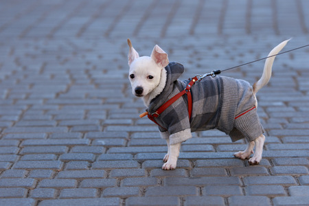 short haired: little white short haired Chihuahua dressed in plaid autumn suit stand on the street in collar with tile
