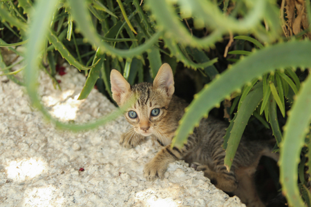 little domestic blue-eyed kitten climbs up on a concrete wall among the aloe bush Stock Photo