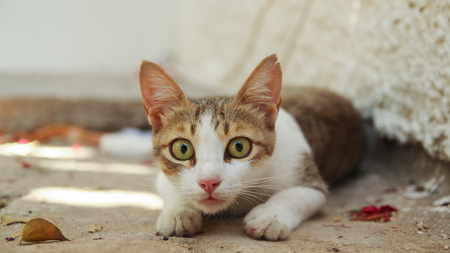 eyes wide open: Funny domestic cat lies on the ground hunting victim with green eyes wide open