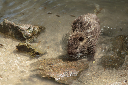 singly: singly coypu goes out of the water
