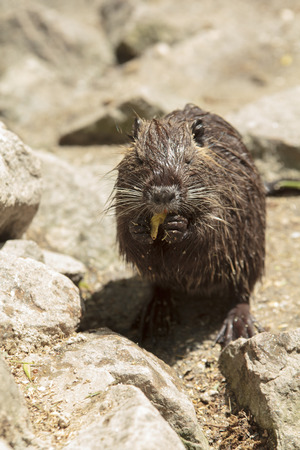 single nutria sits on the back legs and eats, holding food in paws