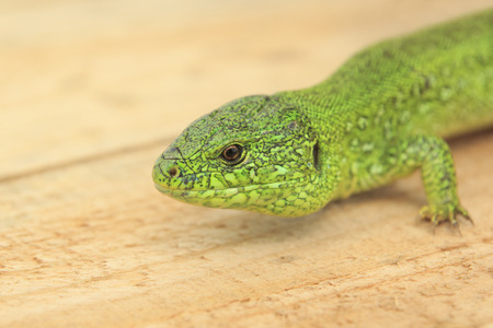 big green lizard lies on a wooden board Stock Photo