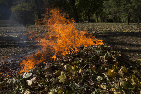 pile of leaves: Pile of dry leaves burns with a high flame