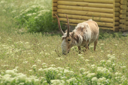 adult male antelope Saiga in captivity feeds in the field