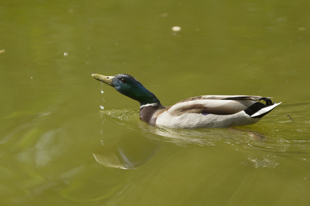 wild duck swims in a water and drinking