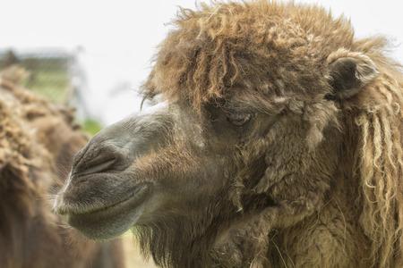 camels face with shedding coat in Aksania-Nova zoo, Ukraine Stock Photo