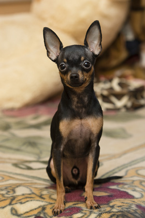russian toy terrier sits on the coverlet at home