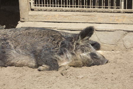 sweetly: Peccary female sleeps sweetly on the ground at the aviary