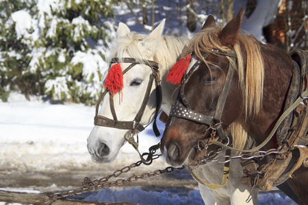 Pair of horses white and brown in harness and red brushes stands on a leash on a winter background Stock Photo