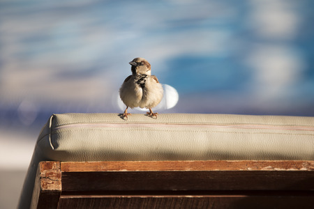 Funny little ruffled sparrow sits on the back of the sunbed Stock Photo