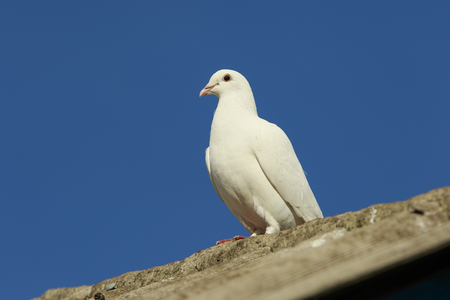 White dove sits on a roof against the bluee sky
