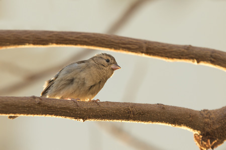 cu: Funny sparrow looks surpriced sitting on a branch