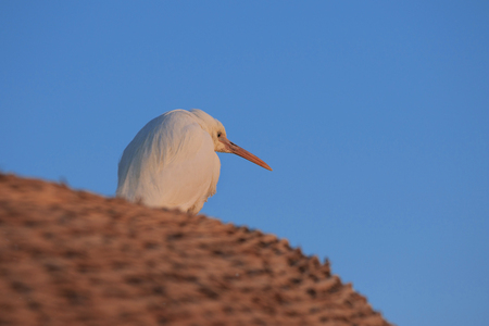 stoop: white egyptian heron sits huched on the straw roof in the dawn light of the morning