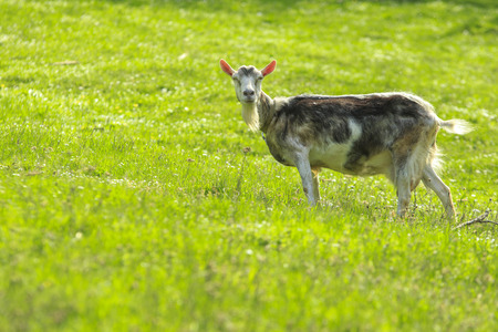 glades: Gray goat female with black spots stands in a green field and watch