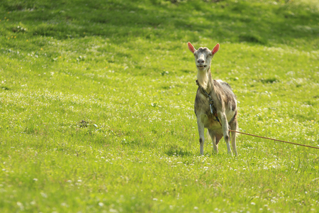 Funny laughing goat stands on a leash in a green meadow