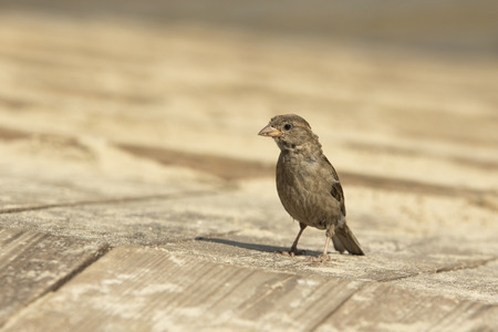 stands: single sparrow female stands on wooden boards Stock Photo
