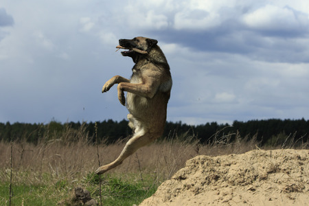Big dog freeze in a jump cathcing the stick at nature