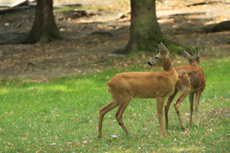 Two deers on a green glade in the autumn forest Stock Photo